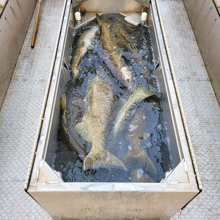 Salmon in holding tank