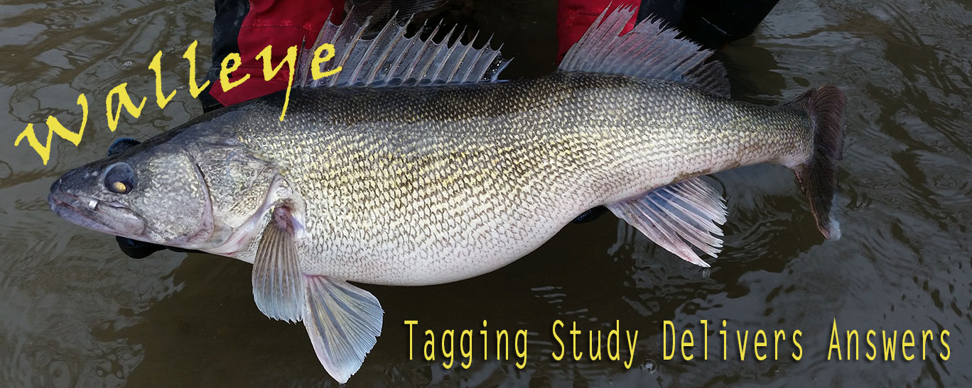 Walleye tagging study delivers answers north dakota game for North dakota game and fish