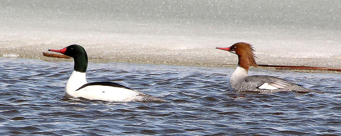 Common merganser pair