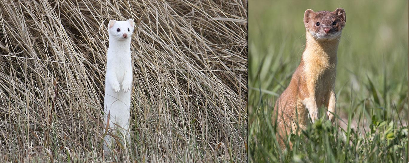Weasels (winter, summer)