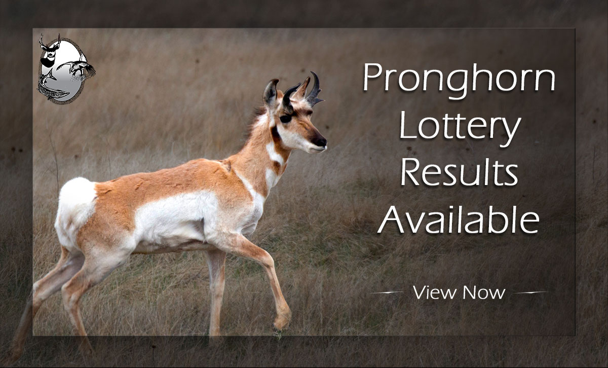 Pronghorn in badlands