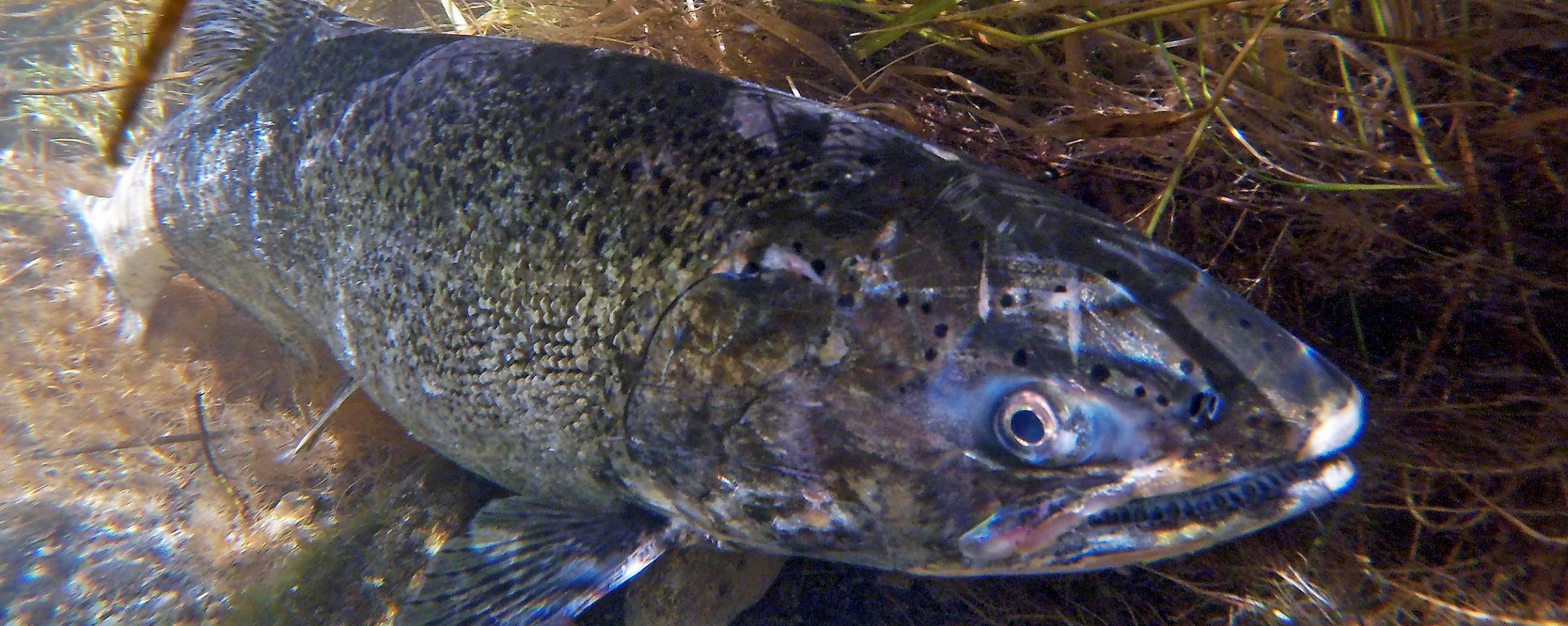 Questions about Sakakawea's Salmon Program | North Dakota