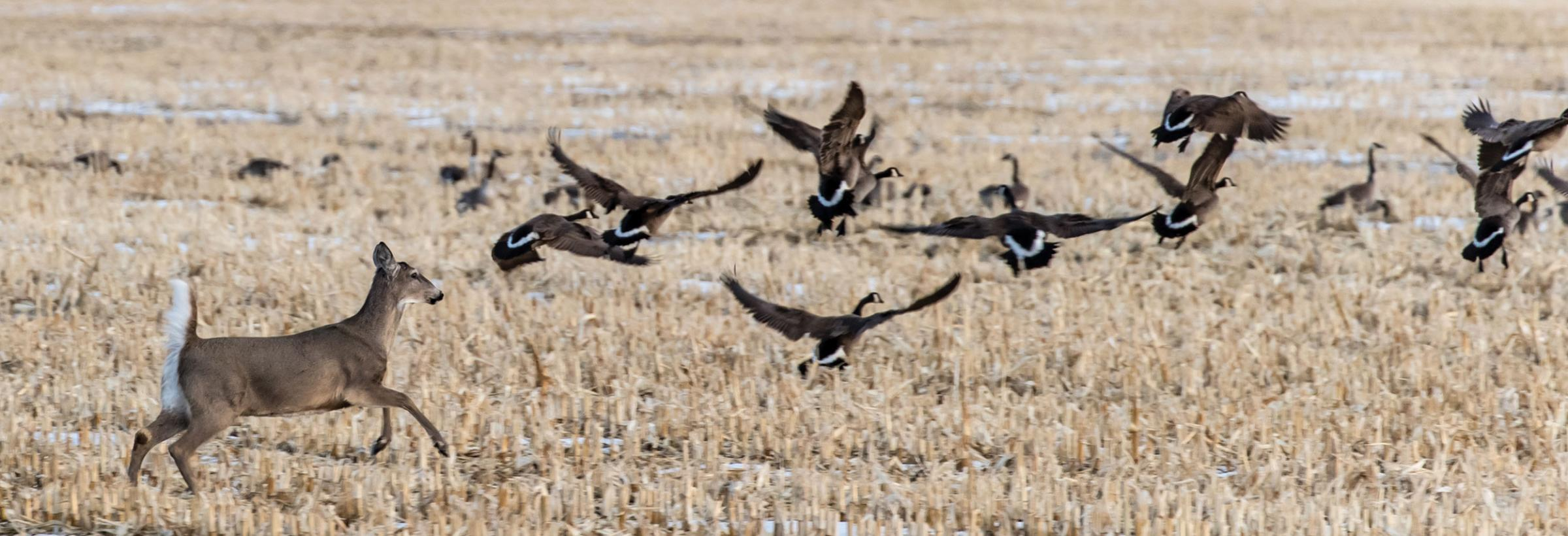 White-tailed deer running across field causing Canada geese to fly up