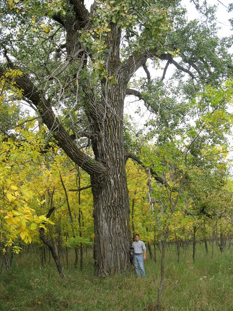 Large cottonwood