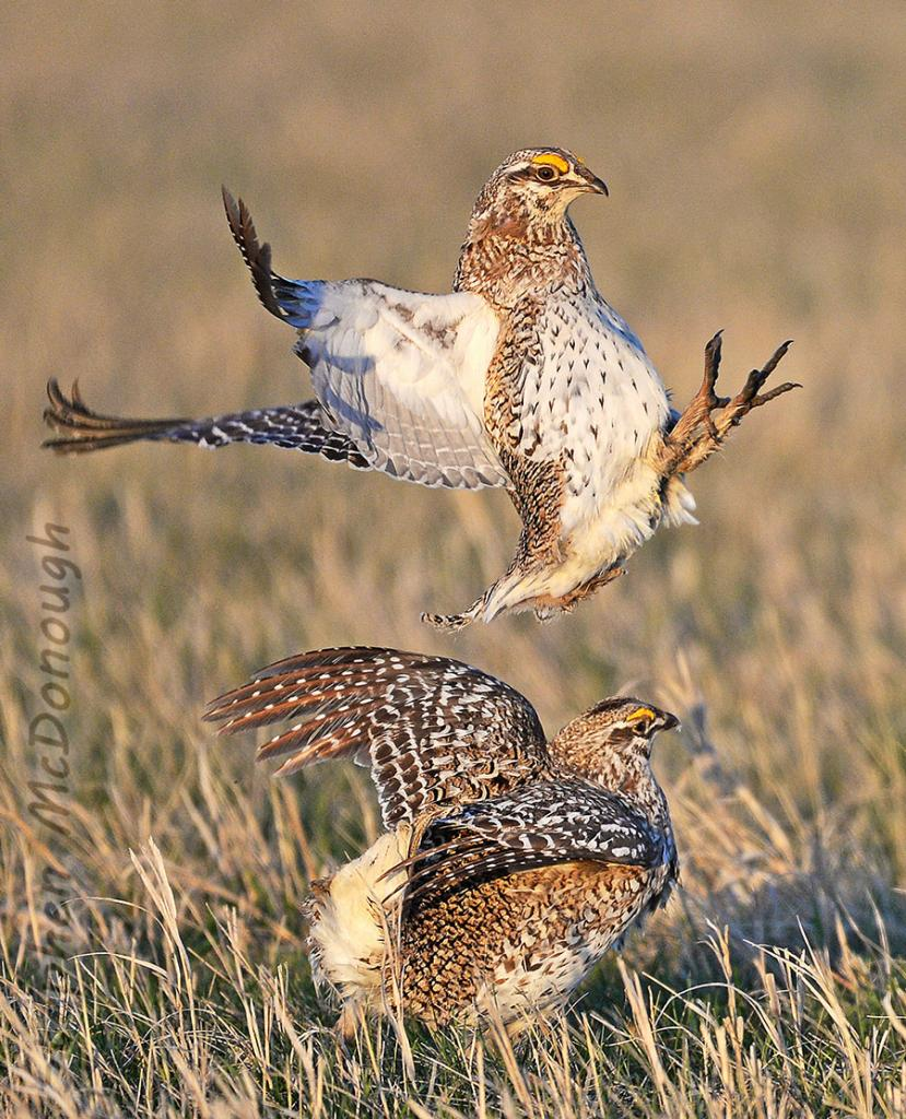 2016 Watchable Wildlife Photo Contest - Game Runner-up, Sharp-tailed grouse taken by Stephen McDonough of Bismarck. Photographed with a Nikon D4 in Burleigh County.