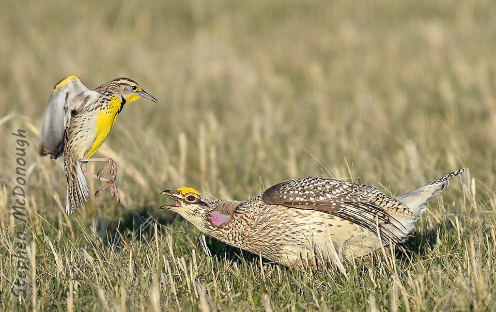 2016 Watchable Wildlife Photo Contest - Nongame Runner-up, Western meadowlark and sharp-tailed grouse taken by Stephen McDonough of Bismarck. Photographed with a Nikon D4 in Burleigh County.