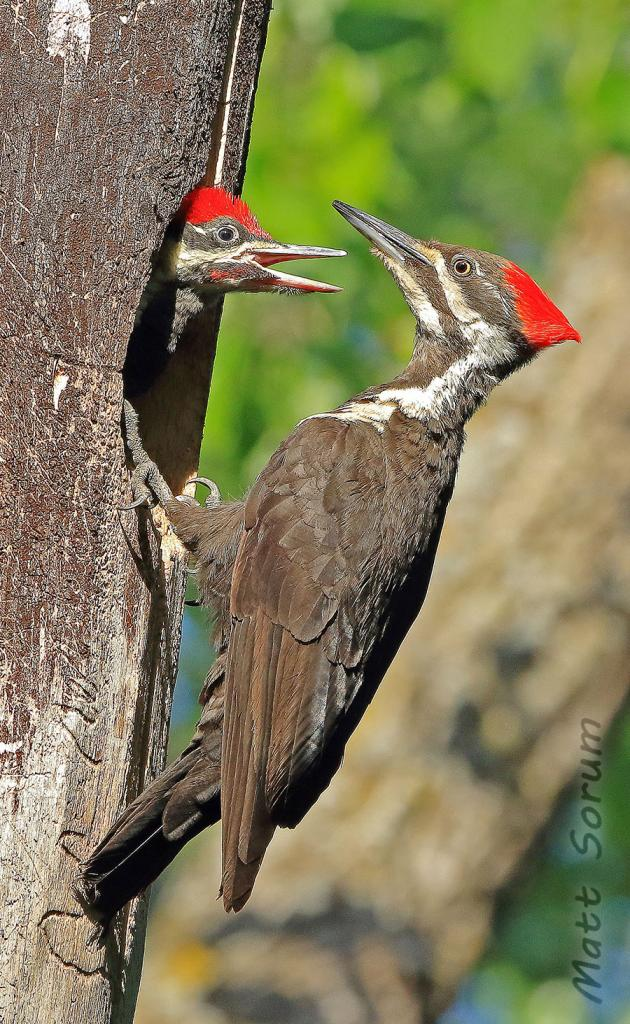2016 Watchable Wildlife Photo Contest - Nongame Runner-up, Pileated woodpecker taken by Matt Sorum of Fargo. Photographed with a Canon 7D Mark II in Fargo.