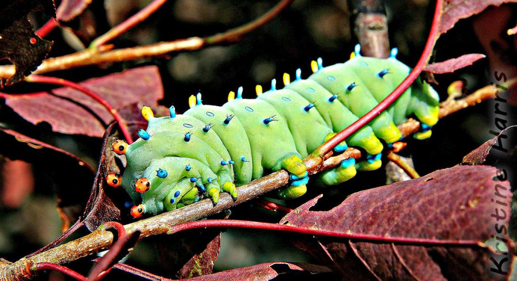 2016 Watchable Wildlife Photo Contest - Plant and Insect Runner-up, Cecropia moth caterpillar taken by Kristine Harris of Gwinner. Photographed with a Canon EOS 70D near Crete.