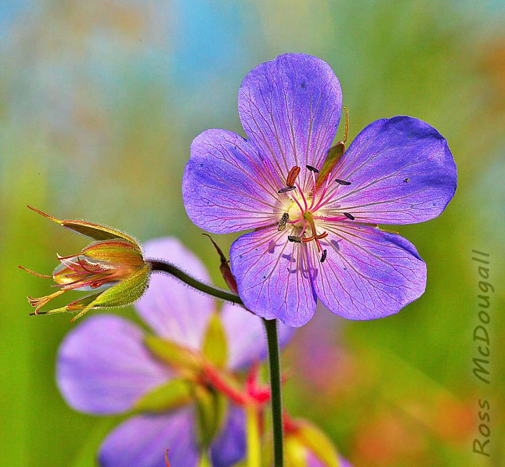 2016 Watchable Wildlife Photo Contest - Plant and Insect Runner-up, Wild geranium taken by Ross McDougall of Rolla. Photographed with an EOS 5DSR near Rolla.