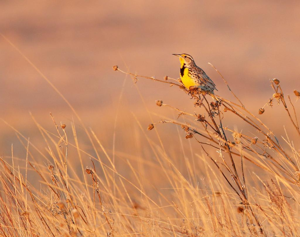 Grassland nesting birds like the meadowlark will begin coming back later this spring. Meadowlarks were added to North Dakota's Species of Conservation Priority list in 2014 because of population declines and range contraction in the state.