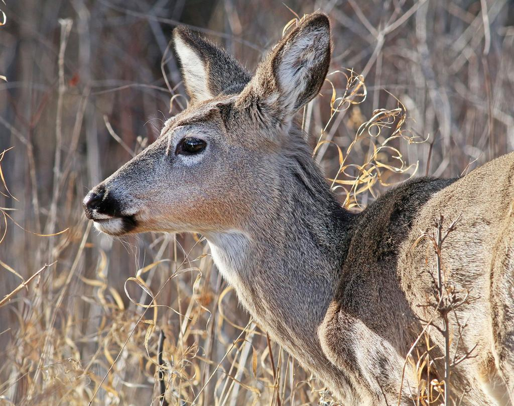 Food sources for animals like this white-tailed deer become more plentiful as the spring progresses.