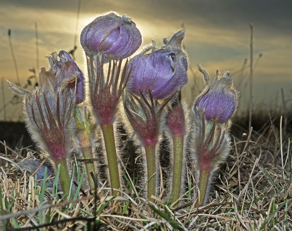 Prairie crocus are one of the first flower species to begin blooming on the prairie.