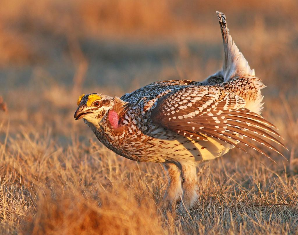 Sharp-tailed grouse males gather on leks to dance and attract mates.