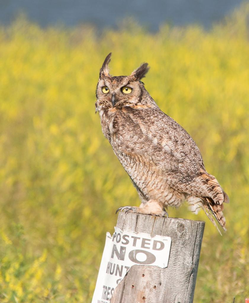 Happy spring! (great horned owl)