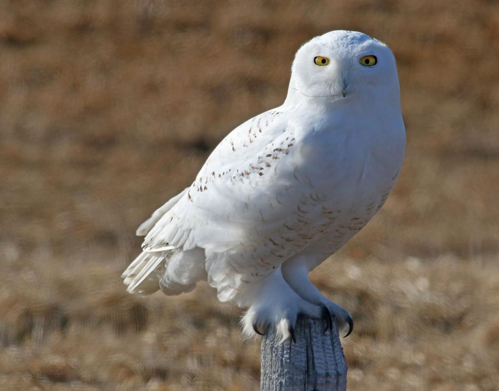 Winter residents are beginning to move out. Snowy owls, which spend the winter hunting in our prairies, will be headed toward their breeding grounds in the arctic tundra.