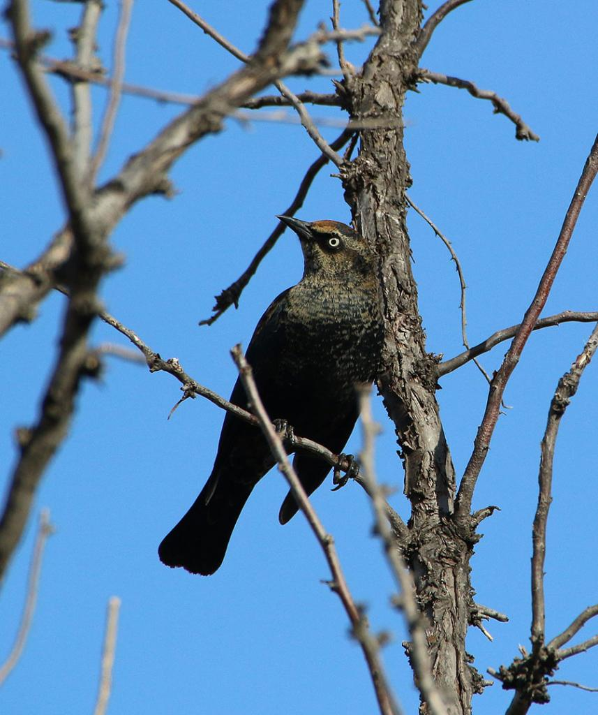 Rusty blackbirds, which sometimes winter in in North Dakota, also move north throughout Canada and Alaska to breed. The population of these little birds has declined an estimated 85-99 percent in the last 40 years. Scientists have been unable to determine the cause for this decline (https://www.allaboutbirds.org/guide/Rusty_Blackbird/id).