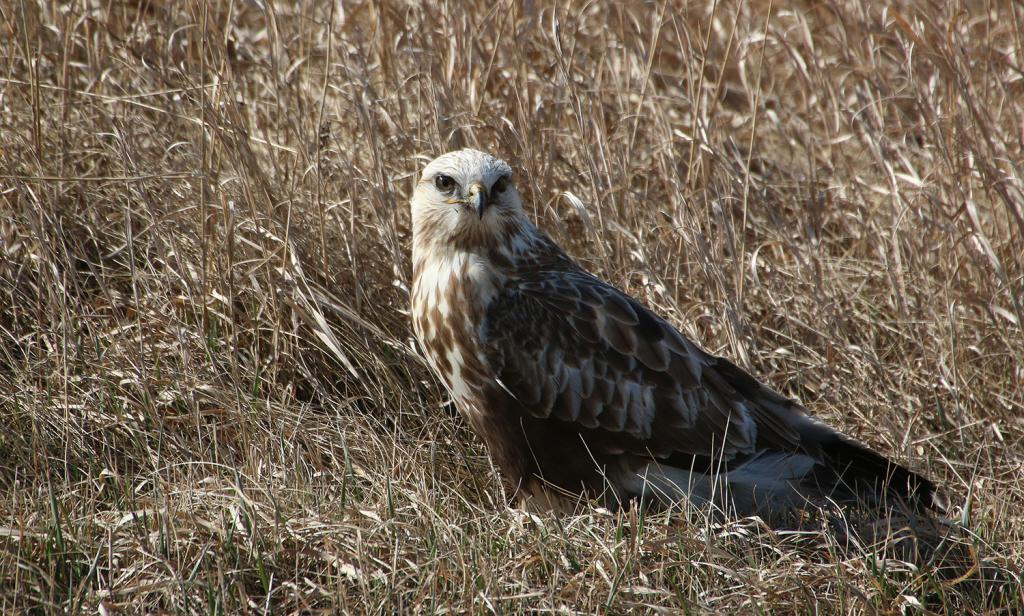 Many raptors like this rough-legged hawk are moving through and into the state…