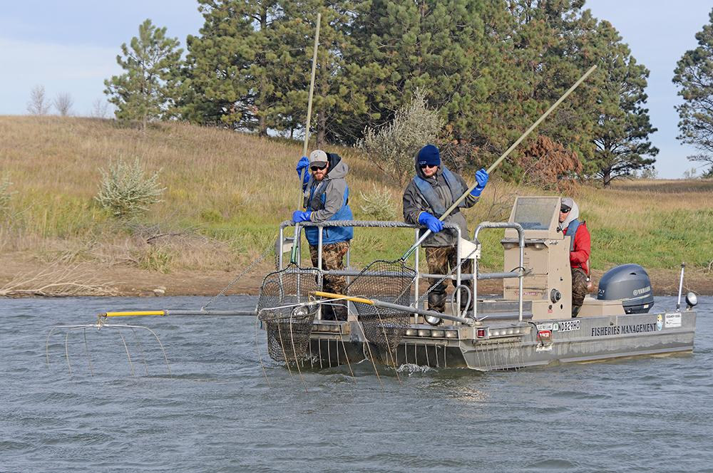 Game and Fish biologists capture salmon in two ways. One is with an electrofishing boat. When salmon are in close to shore in their spawning attempt in the fall, current from the wires at the front of the boat temporarily stuns the fish so they can be netted.