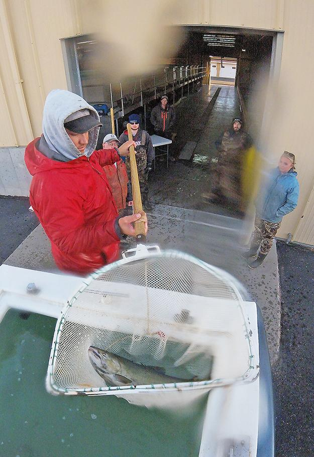 Once at the hatchery, the fish are loaded off the distribution truck and into raceways.