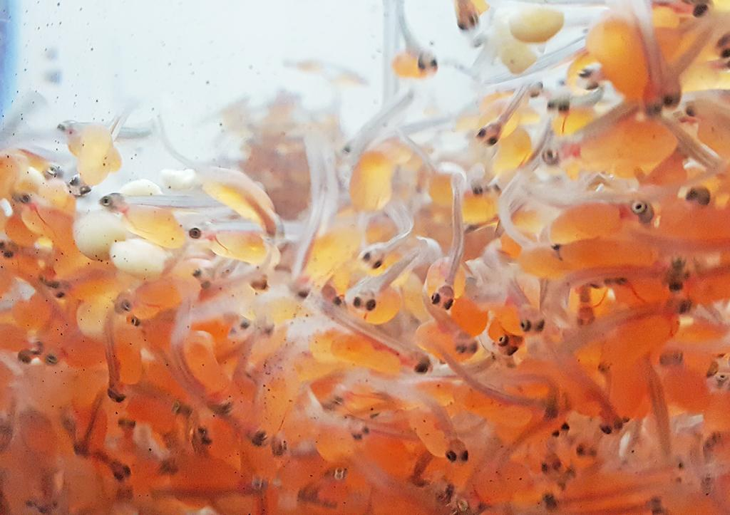 The newly hatched fry then stay in the hatchery and grow over the winter and into spring, reaching 5 or 6 inches in length before they are released.