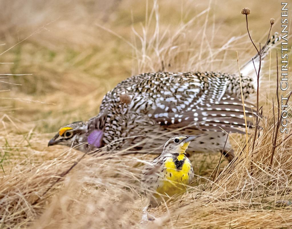 While sharp-tailed grouse and Western meadowlarks are both icons of North Dakota's prairies, it's not often you find them side-by-side on busy leks occupied by dancing grouse.