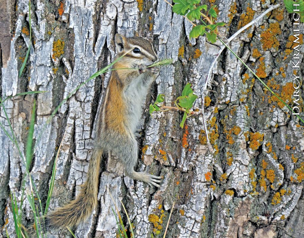 The least chipmunk is the smallest and most widely distributed chipmunk in North America. Th is busy animal uses its cheek pouches to carry food, which it caches in hiding spots here and there.