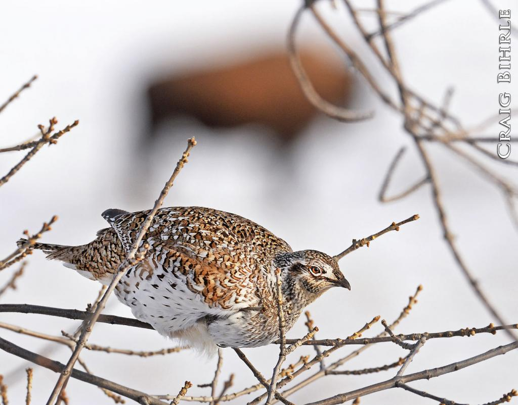 Like the bison captured in the background of this photograph, sharptailed grouse are hardy creatures, capable of dealing with the sometimes harsh realities of winter on the Northern Plains.