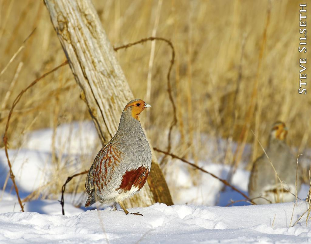Hungarian, or gray partridge, are not native to North Dakota. These upland game birds are often found in coveys outside of the spring breeding season when birds break into pairs.