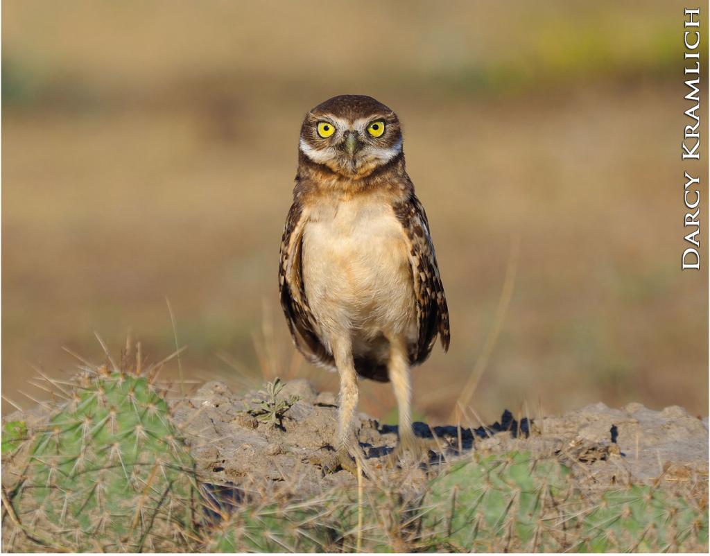 Burrowing owls nest in abandoned burrows constructed by prairie dogs, ground squirrels and other burrowing animals. Mature owls often return to the same nest year after year.
