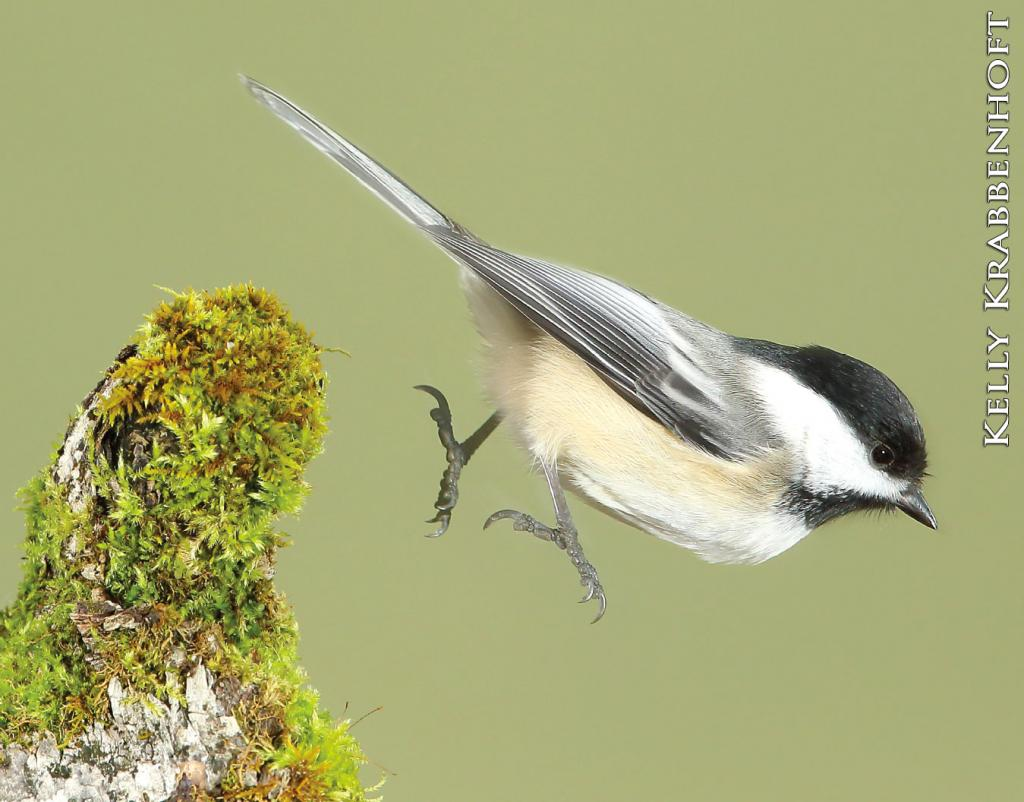 The black-capped chickadee is as inquisitive as it is recognizable, with its black cap and throat, white cheeks and gray back.