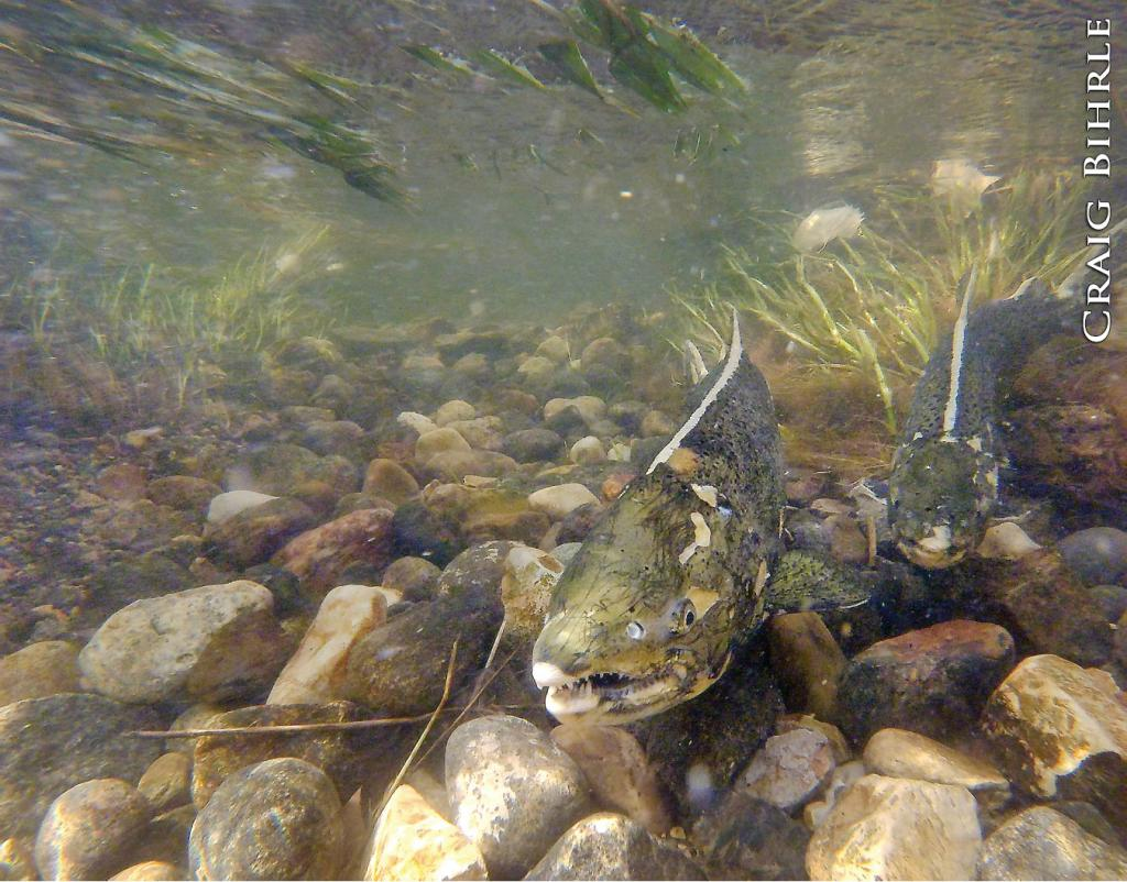While the habitat isn't there for chinook salmon to successfully spawn naturally in North Dakota, mature fish in the Missouri River System still succumb to the primal urge in fall to try.