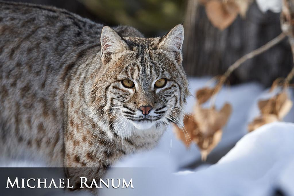 2017 Watchable Wildlife Photo Contest - Game 1st Place : Bobcat taken by Michael Ranum of Bismarck. Photographed with a Nikon D500 near south central North Dakota.