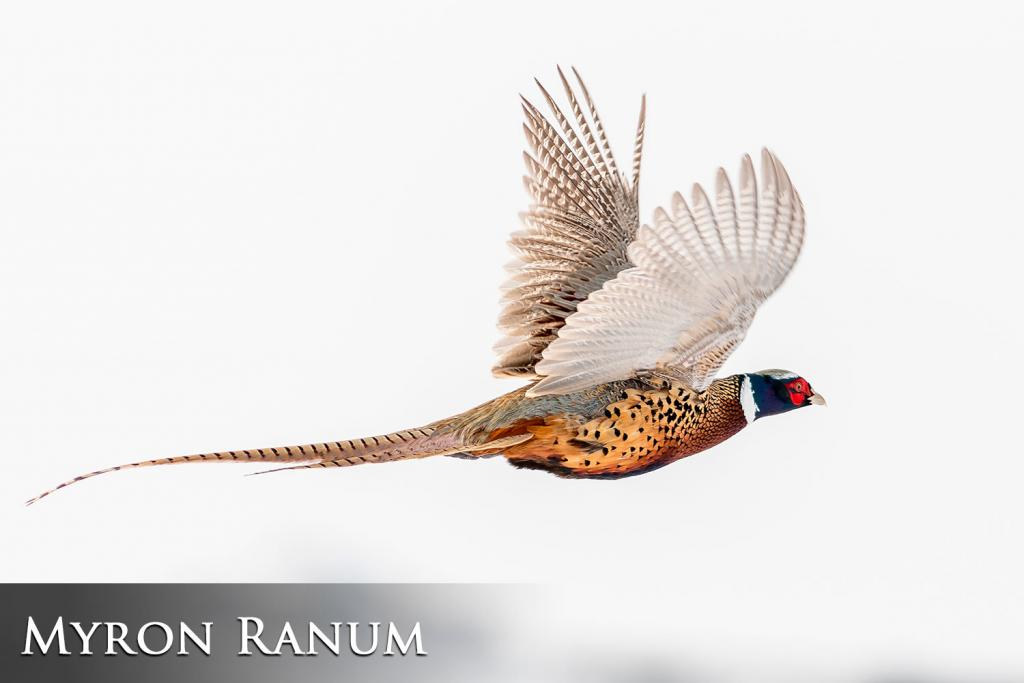 2017 Watchable Wildlife Photo Contest - Game Runner-up: Pheasant taken by Myron Ranum of Bismarck. Photographed with a Nikon D500 near Wing.