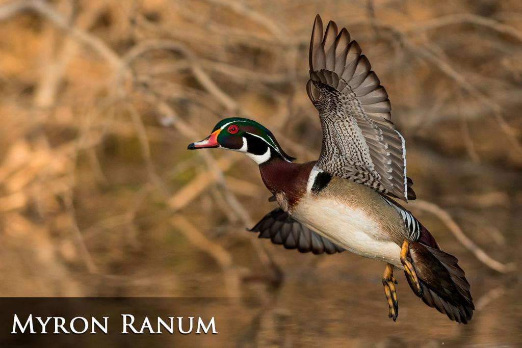 2017 Watchable Wildlife Photo Contest - Game Runner-up: Wood duck taken by Myron Ranum of Bismarck. Photographed with a Nikon D500 near Mandan.