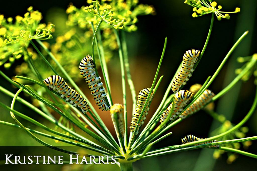 2017 Watchable Wildlife Photo Contest - Plant and Insect Runner-up: Swallowtail caterpillars taken by Kristine Harris of Gwinner. Photographed with a Canon 70D near Crete.