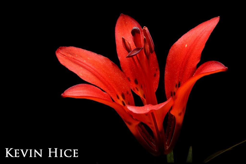 2017 Watchable Wildlife Photo Contest - Plant and Insect Runner-up: Wood lily taken by Kevin Hice of Washburn. Photographed with a Canon 5D near McLean County.