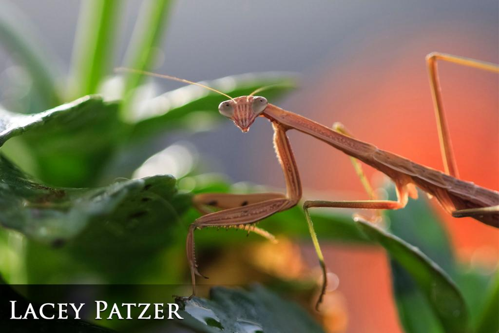 2017 Watchable Wildlife Photo Contest - Plant and Insect Runner-up: Praying mantis taken by Lacey Patzer of Martin. Photographed with a Canon 60D near Bottineau.