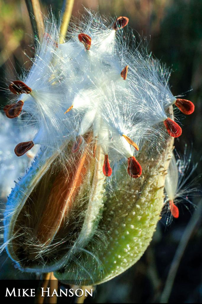 2017 Watchable Wildlife Photo Contest - Plant and Insect Runner-up: Milkweed taken by Mike Hanson of Bismarck. Photographed with a Canon 7D near Garrison Dam.