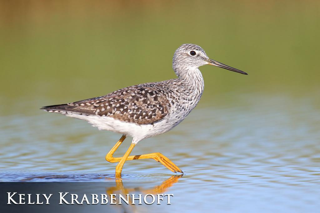 2017 Watchable Wildlife Photo Contest - Nongame 1st Place: Greater yellowlegs taken by Kelly Krabbenhoft of West Fargo. Photographed with a Canon 1DX nearercer County.