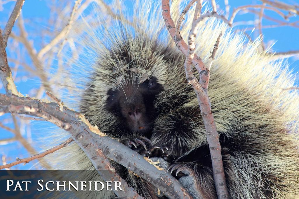 2017 Watchable Wildlife Photo Contest - Nongame Runner-up: Porcupine taken by Pat Schneider of Richardton. Photographed with a Canon Rebel T5i near Richardton.