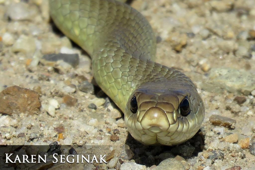 2017 Watchable Wildlife Photo Contest - Nongame Runner-up: Yellow-bellied racer taken by Karen Seginak of Egeland. Photographed with a Canon PowerShot SX60HS near Hettinger.