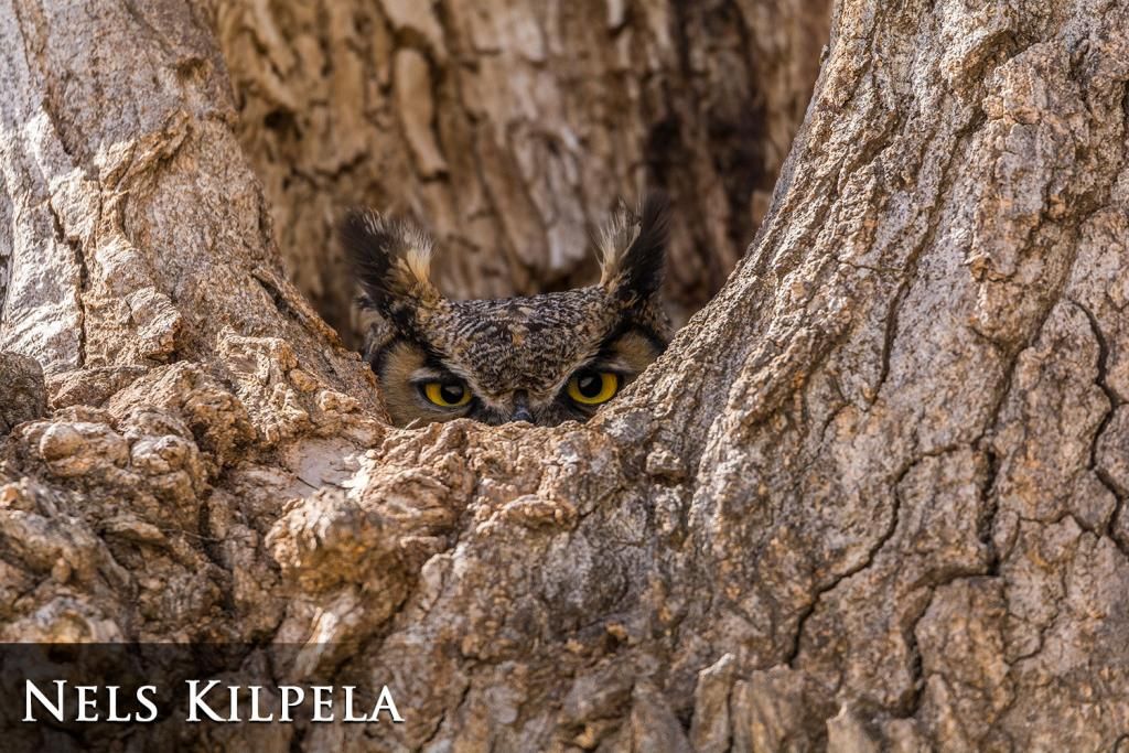 2017 Watchable Wildlife Photo Contest - Overall Winner: Great horned owl taken by Nels Kilpela of Dickinson Photographed with a Nikon D7200 near Dickinson.