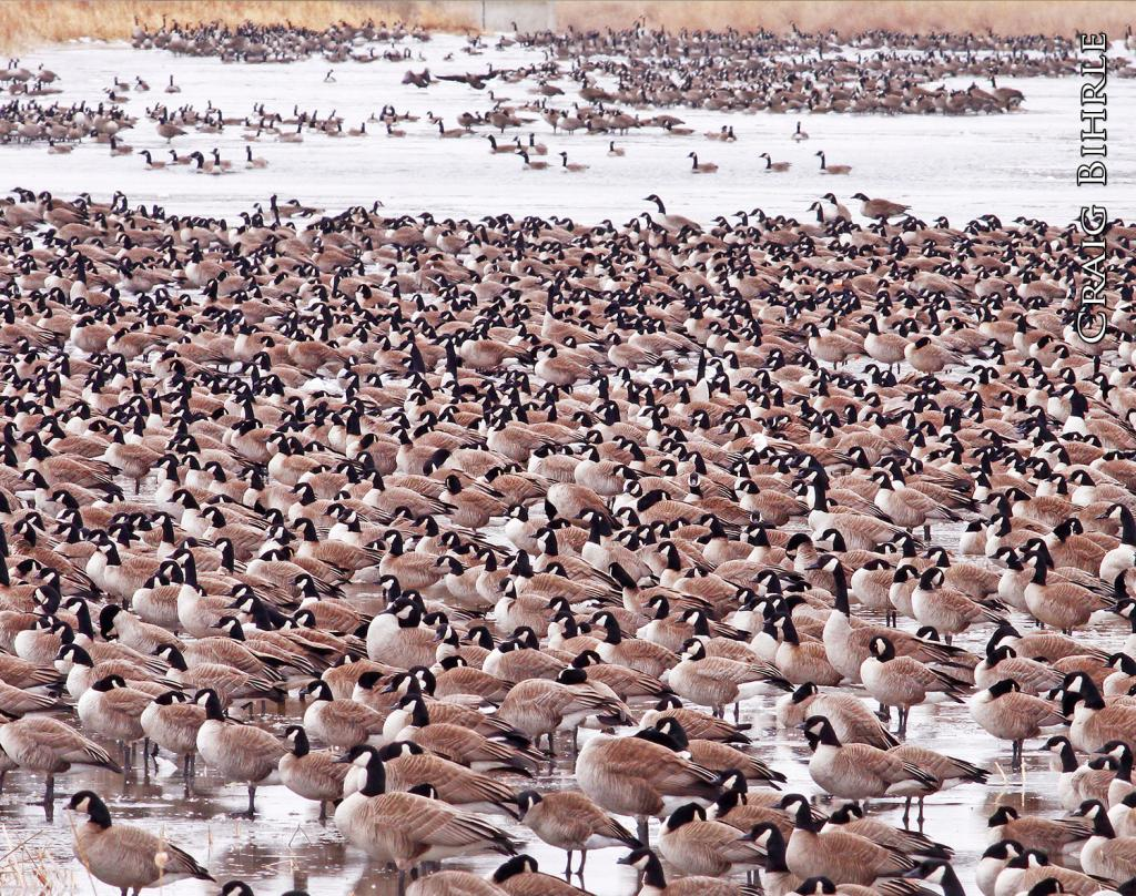 North Dakota's Missouri River corridor attracts hundreds of thousands of Canada geese during the spring migration.