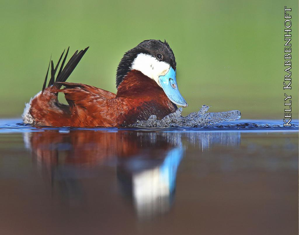 The male ruddy duck in spring plumage is a handsome bird. He swims with head and tail erect, showing off his sky-blue bill, white cheeks and reddish-brown sides and back. The female ruddy duck is brownish-gray and has a dark line across its face.