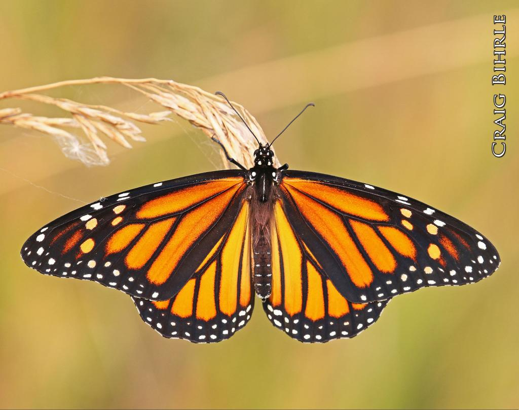 The monarch is that one butterfly species that is so easily recognized from all the others. It's as common to many of us as a Western meadowlark singing on a fencepost or the waving of the white flag of a white-tailed deer in retreat.