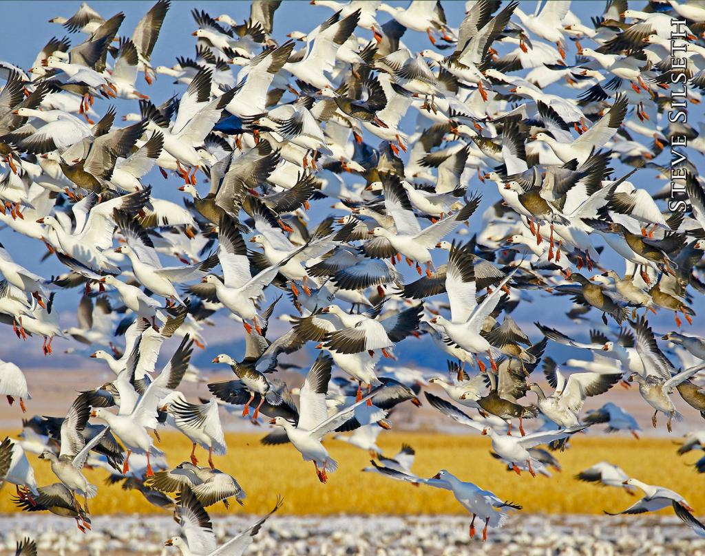 In the migration months in fall and spring, an uncountable number of snow geese make frequent stops in North Dakota, blanketing farm fields to rest and refuel for what remains of their annual passage to wintering and breeding grounds.