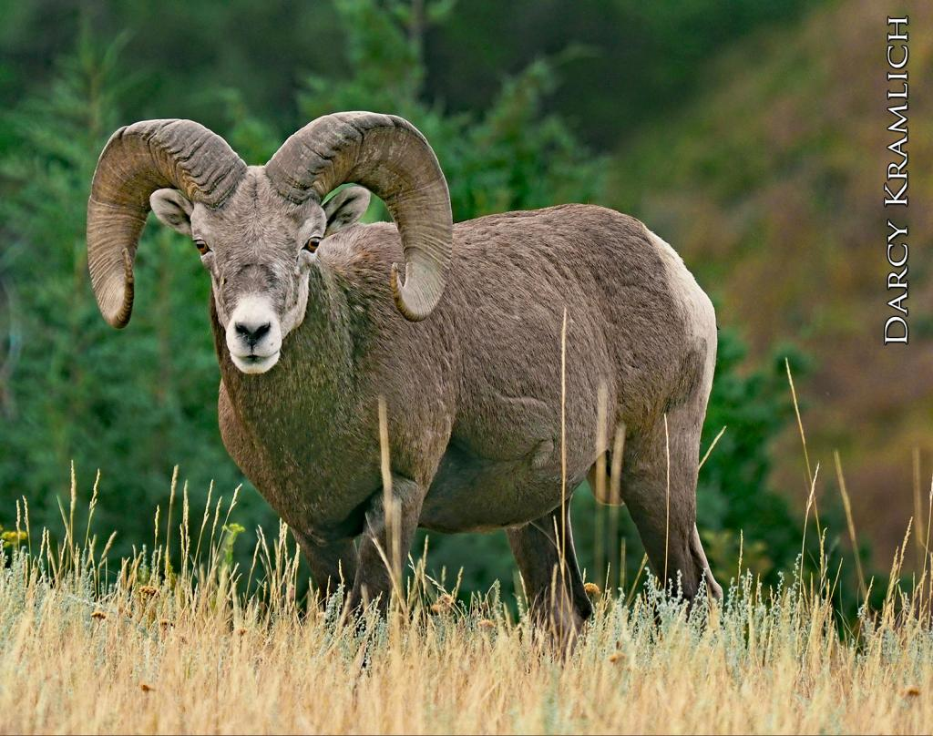Bighorn sheep are found in western North Dakota in the rugged up and down landscape of the badlands. Bighorns are both browsers and grazers and gravitate to the grassy plateaus to feed on grasses, forbs and sedges.