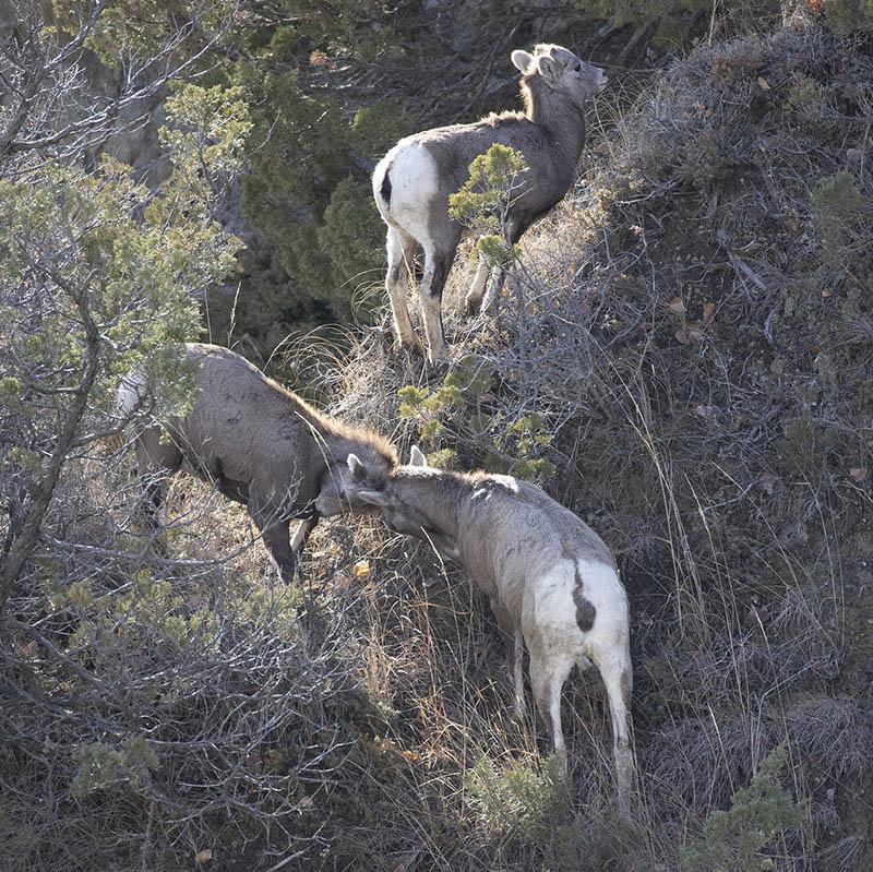 Bighorn sheep sparring