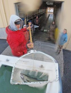 Offloading fish at the hatchery