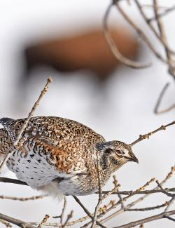 Sharp-tail grouse with bison in background